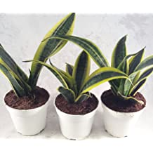 4 Pot Almost Impossible to Kill Black Snake Plant FREE SHIPPING Sanseveria